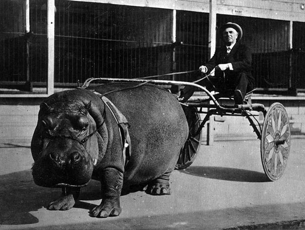 Hippopotamus Pulling Cart